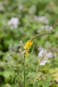 Common ragweed.