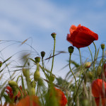 windy poppies, pic