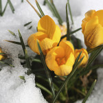 blooms in snow, pic
